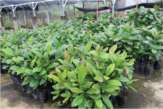 coffee-seedlings