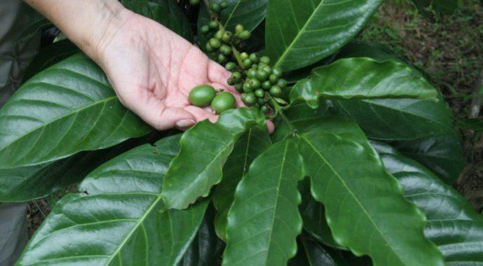 Coffee Of The Day The Elusive Philippines Liberica Barako Coffee
