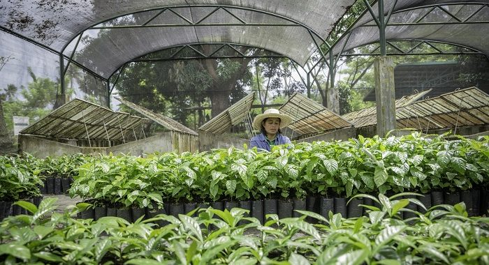 Want To Plant Some Coffee Philippine Coffee Board